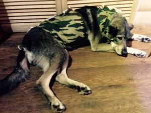 Волчица приходит в себе после операции