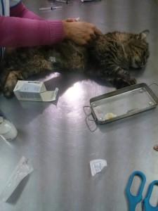 Мама - кошка на операции (стерилизация)